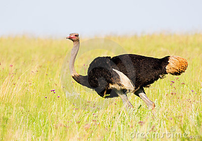 Ostrich in breeding plumage