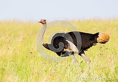 Ostrich in breeding plumage