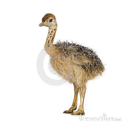 Free Ostrich Chick Royalty Free Stock Images - 2779779