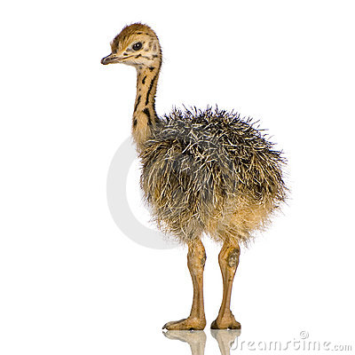 Free Ostrich Chick Royalty Free Stock Images - 2779859