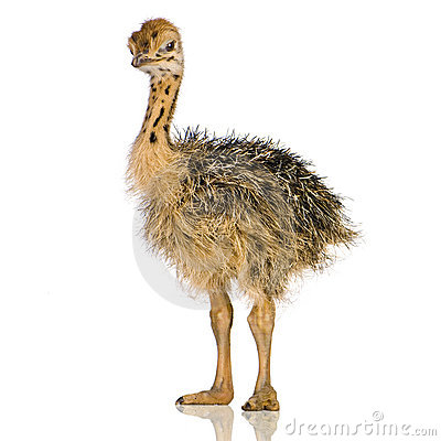 Free Ostrich Chick Stock Photography - 2779872