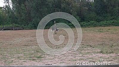 Ostrich chodzący na farmę latem zbiory wideo