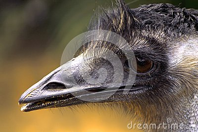 The ostrich close-up