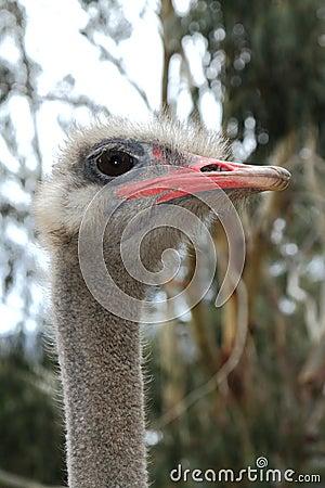 Ostrich posing