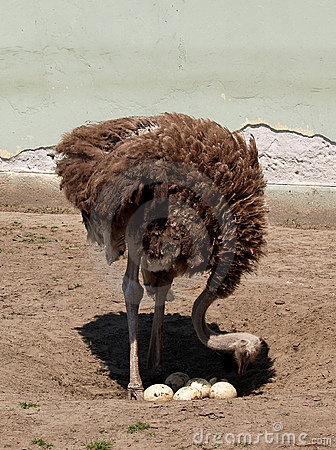 Free Ostrich Counts The Eggs Royalty Free Stock Image - 777386