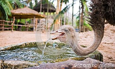 Ostrich drinking water