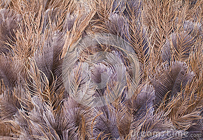 Ostrich feathers background