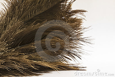 Ostrich feathers (Struthio) close-up over white