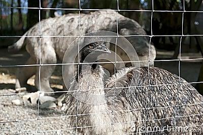 Ostrich in a frame