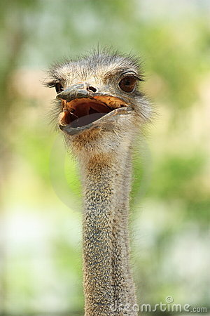 Free Ostrich Head Royalty Free Stock Photo - 19604665
