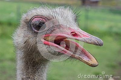 Ostrich head with beak open 2