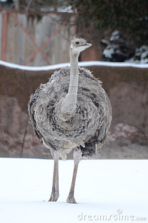 Free Ostrich In The Snow2 Royalty Free Stock Photos - 29835328