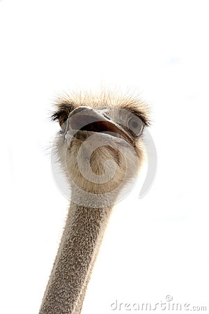 Free Ostrich Isolated On White Stock Image - 97218621