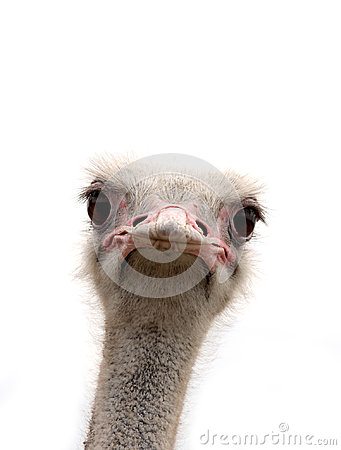 Free Ostrich Isolated On White Royalty Free Stock Photos - 97218628