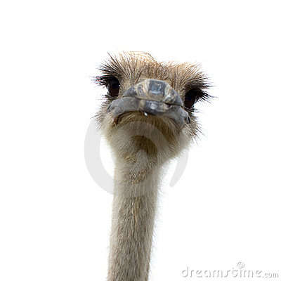Free Ostrich Isolated On White Background Royalty Free Stock Photography - 13366807