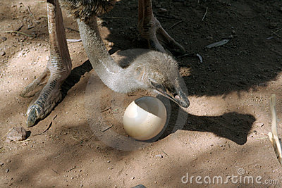 Ostrich Mom