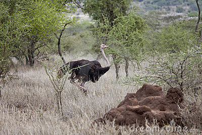 Ostrich in natural habitat