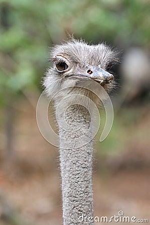 An ostrich portrait