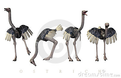 Ostrich poses