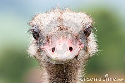 Ostrich staring
