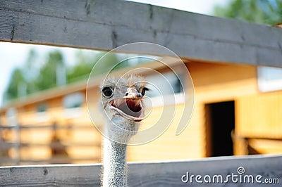 Ostrich talking