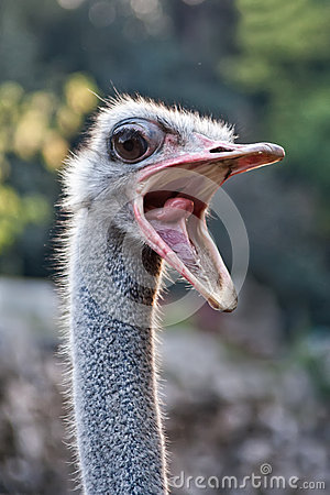 Free Ostrich With Mouth Open Royalty Free Stock Photo - 33428545