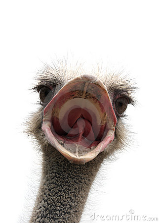 Free Ostrich With Open Beak Royalty Free Stock Photography - 14917047