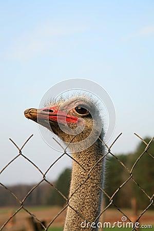Ostriches farm