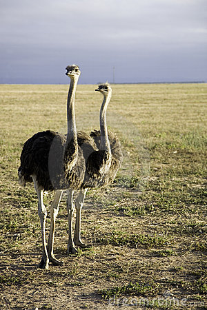 Free Ostriches In South Africa Stock Photography - 2067312