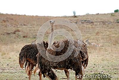 Ostriches in the savanna