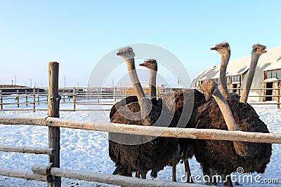 Ostriches in Siberia