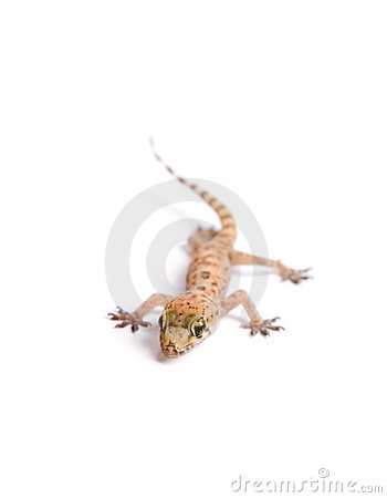 Ostry gekon