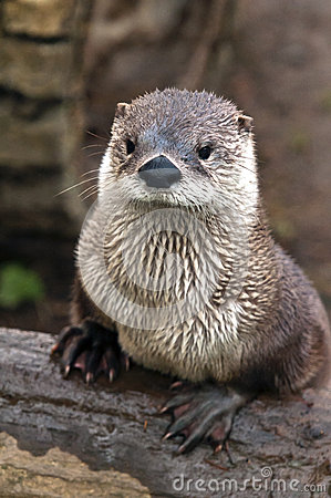 Free Otter Stock Photos - 36412223