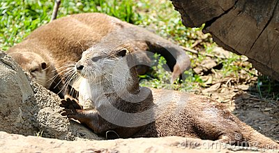 An Otter Bask In The Afternoon Sun