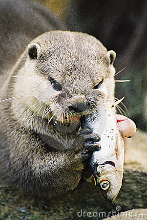otter-eating-a-fish-thumb1799573.jpg