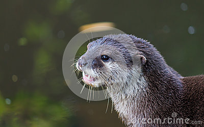 Otter in front of pond
