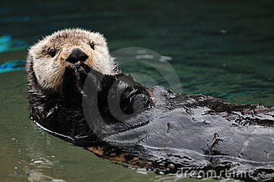 Otter Greeting Royalty Free Stock Photo - Image: 12242145