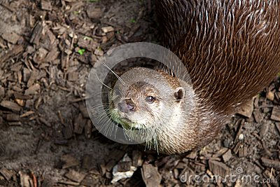 Otter is looking