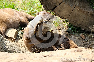 An Otter Plays With A Rock