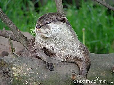 An otter at rest