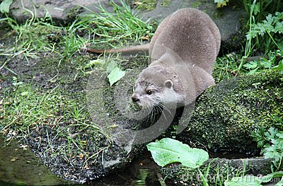 Otter on the Rocky Bank.