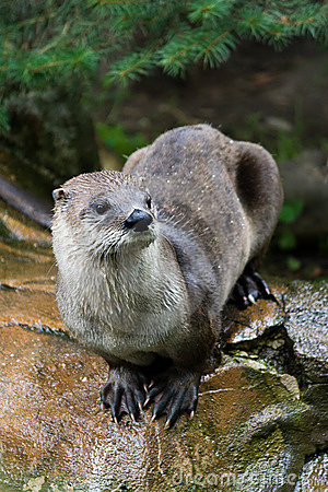 Otter sitting on the stone