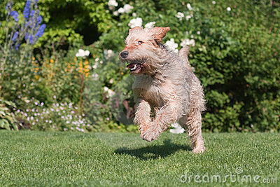 Otterhound running in the garden