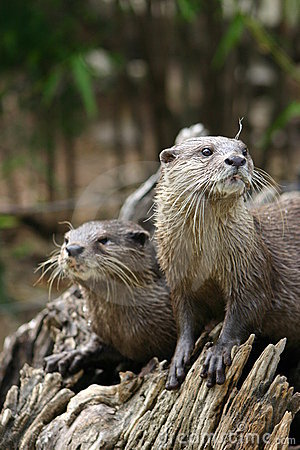 Free Otters Stock Photography - 93962