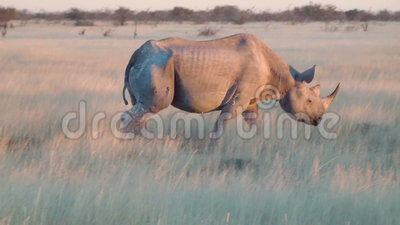 Oud rinoceros dicht het naar boven gaan gebied Etosha Namiba Afrika stock footage
