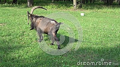 Oude geit op weide in de zomer stock videobeelden