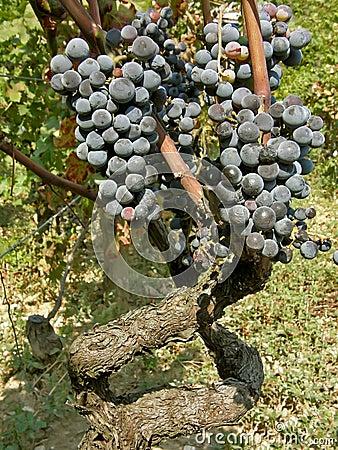 Oude wijnstokken (steel) met de druiven