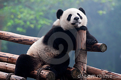 ours de panda g ant mignon posant pour l 39 appareil photo images stock image 17117324. Black Bedroom Furniture Sets. Home Design Ideas