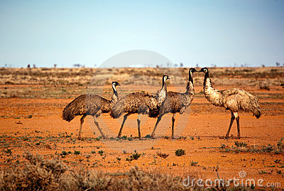 Outback Emus