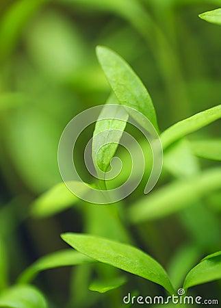 Outbreaks of parsley